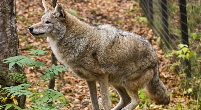 natura Pytanie-Ciekawostka: Ile gatunków wilków rozpoznaje się dzisiaj?