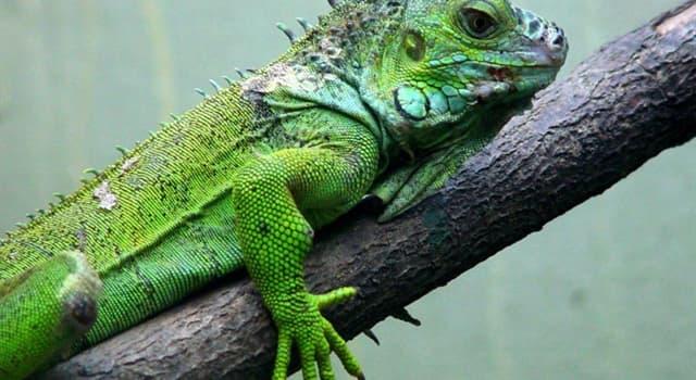 natura Pytanie-Ciekawostka: Ile oczy ma legwan zielony?