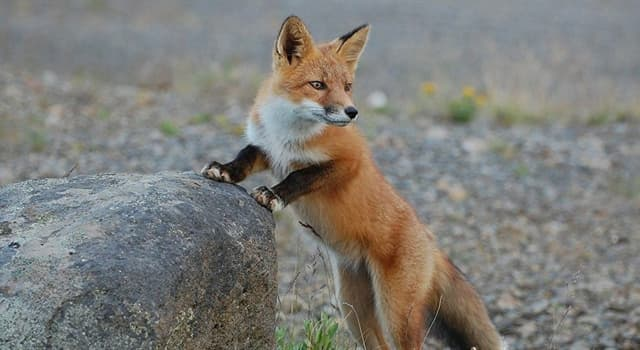 Culture Trivia Question: In which country did fox hunting originate?