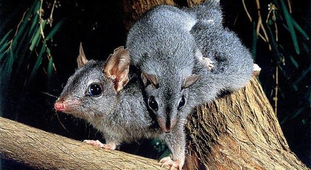 природа Запитання-цікавинка: З якої країни родом велика сумчаста пацюк?