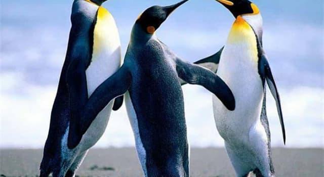 natura Pytanie-Ciekawostka: Jak długo pingwin cesarski nie może jeść, chroniąc swoje jajo?