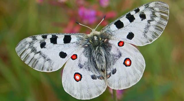 natura Pytanie-Ciekawostka: Jak inaczej nazywa się motyl Parnassius?
