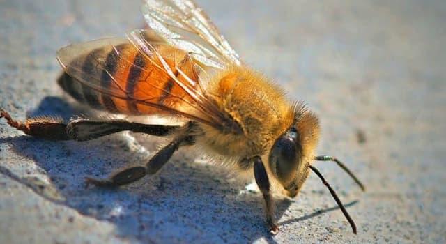 natura Pytanie-Ciekawostka: Jaka jest inna nazwa afrykańskich pszczół?