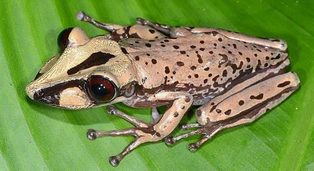 natura Pytanie-Ciekawostka: Jeden gram jadu żaby Aparasphenodon brunoi wystarczyłby do zabicia ilu ludzi?