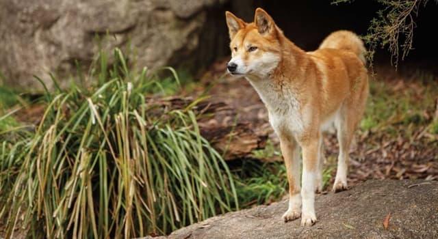 природа Запитання-цікавинка: Як звуть дику собаку Австралії?