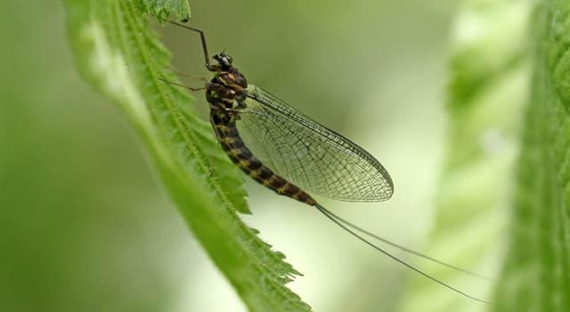 природа Запитання-цікавинка: Яке народна назва комах-поденок?