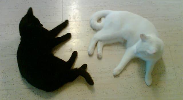 Фільми та серіали Запитання-цікавинка: Хто зняв комедію «Чорна кішка, білий кіт»?