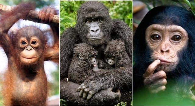 natura Pytanie-Ciekawostka: Która z tych małp jest uważana za półspołeczną?