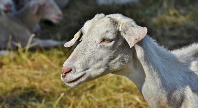 Kultura Pytanie-Ciekawostka: Które legendarne stworzenie rzekomo zabija kozy i wysysa z nich krew?