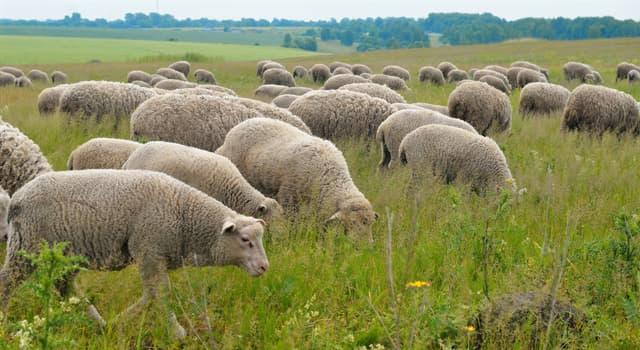 natura Pytanie-Ciekawostka: Które z poniższych słów jest jedną z nazw grupy owiec?