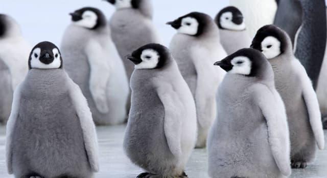 natura Pytanie-Ciekawostka: Który to najwyższy i najcięższy pingwin?