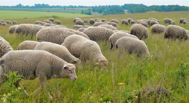 Natur Wissensfrage: Mit welchem von diesen Begriffen bezeichnet man eine Gruppe von Schafen?