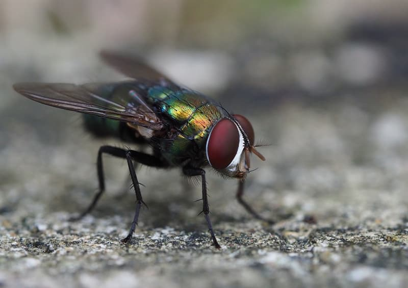Naturaleza Pregunta Trivia: ¿Por qué es tan complicado atrapar una mosca?