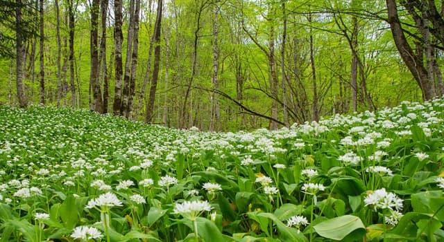 natura Pytanie-Ciekawostka: Roślina Allium ursinum jest znana jako co?