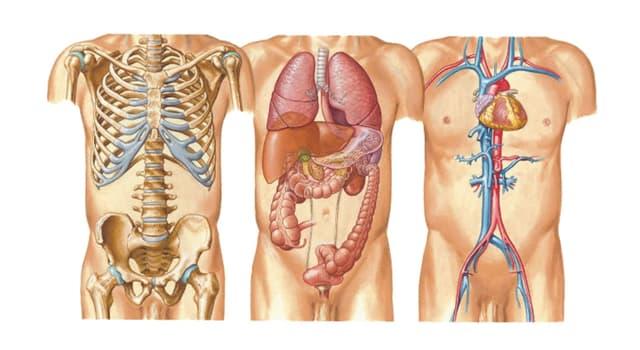 Наука Запитання-цікавинка: За допомогою чого м'язи прикріплюються до кісток скелета?