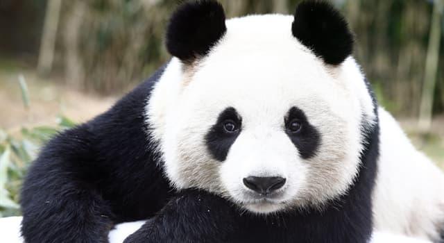 природа Запитання-цікавинка: Скільки приблизно годин на день панда може витратити на їжу?