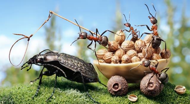 природа Запитання-цікавинка: Укусу якого виду мурашок здатне викликати анафілактичний шок?