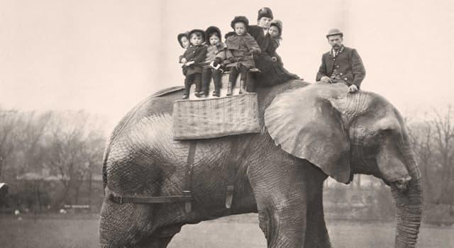 historia Pytanie-Ciekawostka: W jakim wieku zmarł Jumbo - słoń cyrkowy?