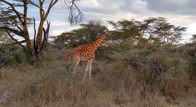 natura Pytanie-Ciekawostka: W którym dniu obchodzony jest Światowy Dzień Żyrafy?