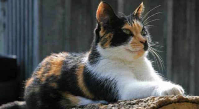 Natur Wissensfrage: Warum sind die meisten dreifarbigen Katzen weiblich?