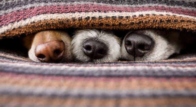 Natur Wissensfrage: Welche dieser Hunderasse gehört zur Gruppe Windhunde?