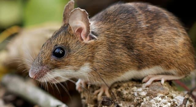 Natur Wissensfrage: Welche Mäuseart ist kein Nagetier?