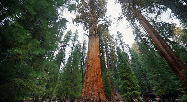 """Geschichte Wissensfrage: Welcher militärische Titel steht im Namen eines der größten Bäume der Welt vor """"Sherman""""?"""