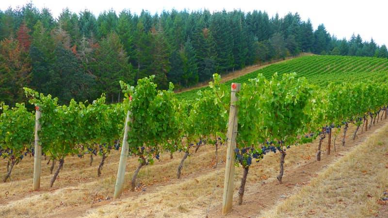 Naturaleza Pregunta Trivia: ¿Qué se planta alrededor de los viñedos para detectar las aparición de enfermedades antes de que afecten a las uvas?