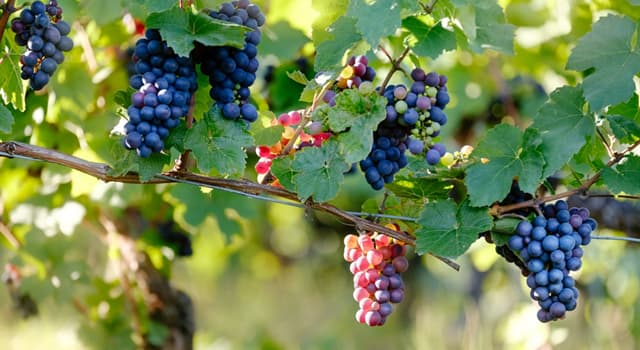 Nature Trivia Question: What kind of grapes are called table grapes?
