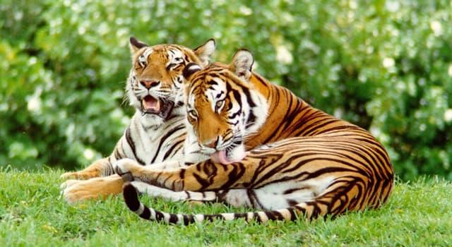 Sociedad Pregunta Trivia: ¿Dónde comenzó el Proyecto Tigre con el objetivo de crear reservas naturales para tigres?