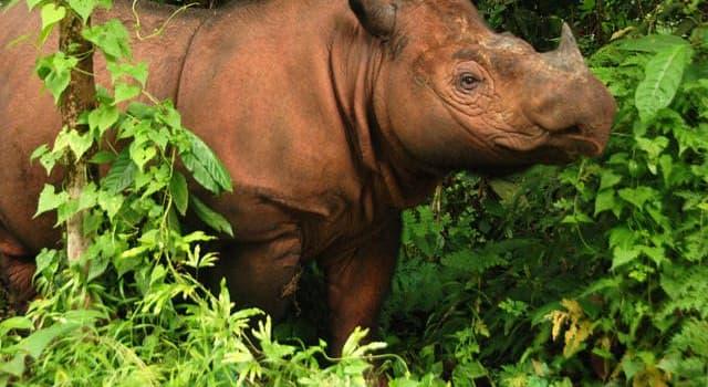 natura Pytanie-Ciekawostka: Widoczny gatunek nosorożca kiedyś żył w nie mniej niż 10 państwach. Obecnie żyje w dwóch, jakich?