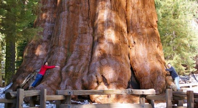 Natur Wissensfrage: Wie heißt der größte bekannte lebende Einzelstammbaum der Welt?