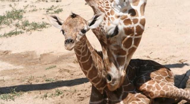 Natur Wissensfrage: Wie lang ist die Zunge einer Giraffe ungefähr?