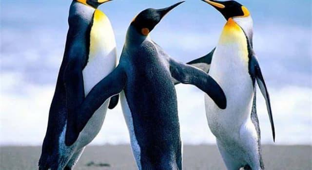Natur Wissensfrage: Wie lange kann ein männlicher Kaiserpinguin nicht essen, während er sein Ei bewacht?