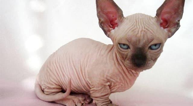 Natur Wissensfrage: Wie lautet der Name der Rasse der Katze auf dem Bild?