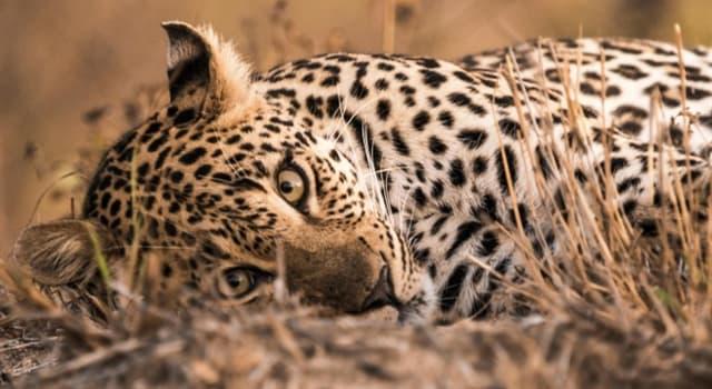 Natur Wissensfrage: Wie nennt man die Fellzeichnung eines Leoparden?