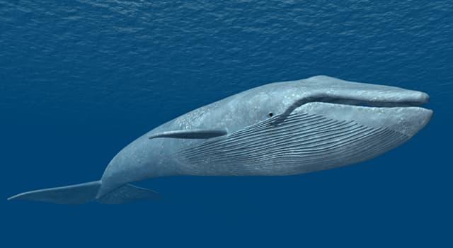 Natur Wissensfrage: Wie viel Gewicht nimmt ein neugeborener Blauwal im ersten Lebensjahr durchschnittlich täglich zu?