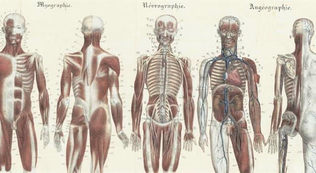 Wissenschaft Wissensfrage: Wo im menschlichen Körper befindet sich die Achillessehne?