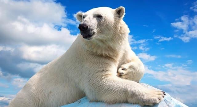 Natur Wissensfrage: Wo leben Eisbären?