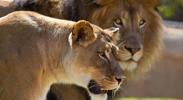 Natur Wissensfrage: Wo leben Löwen?