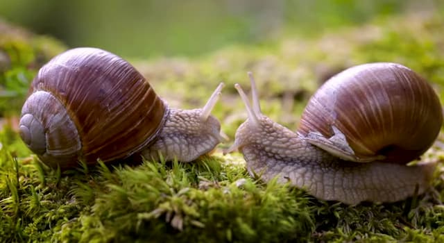 Nature Trivia Question: What kind of animals are Roman snails?