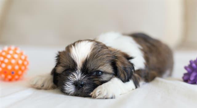 Natur Wissensfrage: Aus welchem Land kommt der Shih Tzu Hund?