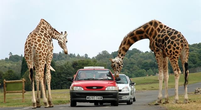 """Kultur Wissensfrage: Aus welcher Sprache stammt das Wort """"Safari""""?"""