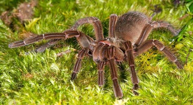 природа Запитання-цікавинка: Чим харчується павук терафоза Блонда?