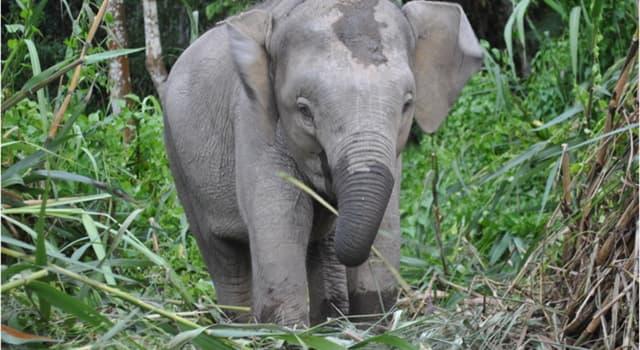 природа Запитання-цікавинка: Що є основною загрозою для життя Борнейского слона?
