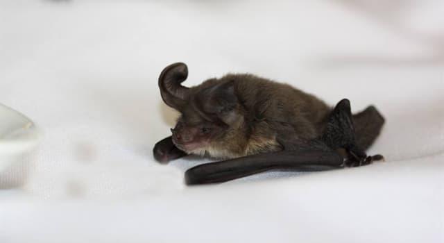 natura Pytanie-Ciekawostka: Czym przeważnie żywi się większość nietoperzy Microchiroptera?