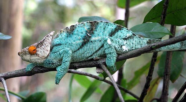 natura Pytanie-Ciekawostka: Gdzie znajduje się najcięższy kameleon?