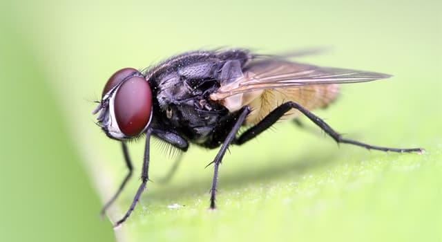 natura Pytanie-Ciekawostka: Gdzie zwykle mucha domowa składa jaja?