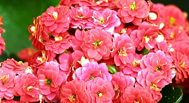 """Nature Trivia Question: How is the plant """"kalanchoe blossfeldiana"""" more commonly known?"""