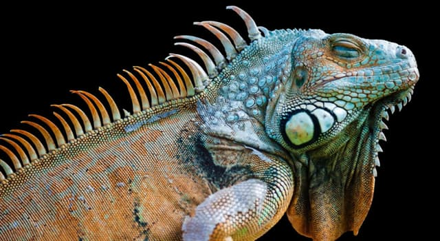 Nature Trivia Question: How many species of lava lizards can be found in the Galapagos Islands?